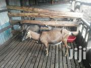 Goat Milk For Sale | Livestock & Poultry for sale in Nairobi, Kangemi