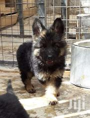 Gsd Long Coat | Dogs & Puppies for sale in Kiambu, Ting'Ang'A
