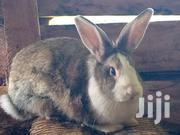 Rabbit Farming Kenya Thika | Livestock & Poultry for sale in Kiambu, Thika