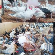Kuku Chicks Turkey Chicken | Livestock & Poultry for sale in Kiambu, Kabete