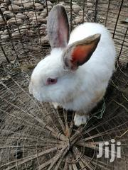 Rabbits For Sale Cal | Other Animals for sale in Nakuru, Lanet/Umoja