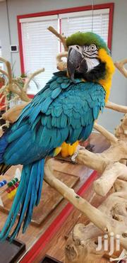 Blue And Gold Macaw Parrots | Birds for sale in Nairobi, Harambee