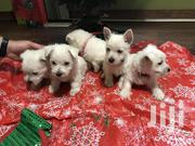 Young Female Purebred West Highland White Terrier | Dogs & Puppies for sale in Nairobi, Zimmerman