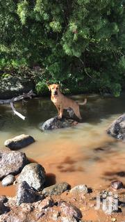 Adult Male Mixed Breed Boerboel | Dogs & Puppies for sale in Laikipia, Nanyuki