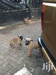 Baby Female Mixed Breed Belgian Malinois | Dogs & Puppies for sale in Laikipia, Nanyuki