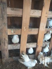Fantail Pigeons | Birds for sale in Nairobi, Parklands/Highridge