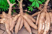 Cassava For Sale | Feeds, Supplements & Seeds for sale in Nakuru, Subukia