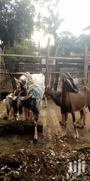 Daily Goats | Livestock & Poultry for sale in Nairobi, Kahawa West