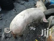Pure Large White Healthy Boar | Livestock & Poultry for sale in Nairobi, Nairobi Central