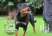 Young Male Purebred Rottweiler | Dogs & Puppies for sale in Kericho, Ainamoi
