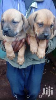 Young Male Purebred Boerboel | Dogs & Puppies for sale in Nairobi, Nairobi Central