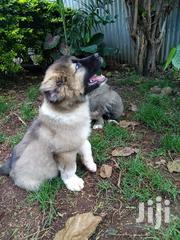 Caucasian Shepherd Puppies For Sale | Dogs & Puppies for sale in Kiambu, Kiuu