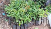 Hashi Avocado Seedlings | Feeds, Supplements & Seeds for sale in Nairobi, Nairobi Central