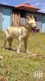 Young Female Purebred German Shepherd Dog | Dogs & Puppies for sale in Nairobi, Ngara