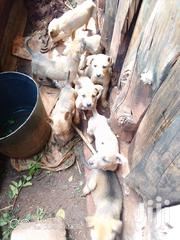 Young Female Mixed Breed Goldador | Dogs & Puppies for sale in Nyeri, Kiganjo/Mathari