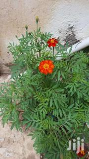 Marigold | Feeds, Supplements & Seeds for sale in Kajiado, Ongata Rongai
