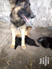 Baby Male Purebred German Shepherd Dog | Dogs & Puppies for sale in Kajiado, Kitengela