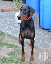 Young Male Purebred Doberman Pinscher   Dogs & Puppies for sale in Nairobi, Karen