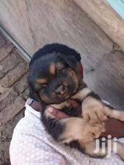 Gsd Male. Puppies   Dogs & Puppies for sale in Nakuru, Flamingo