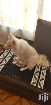 Young Male Mixed Breed Japanese Spitz | Dogs & Puppies for sale in Nairobi, Parklands/Highridge