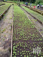 Trees To Plant For Sale | Feeds, Supplements & Seeds for sale in Kiambu, Kijabe