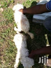 Baby Female Mixed Breed Chihuahua   Dogs & Puppies for sale in Nairobi, Kahawa