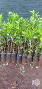 Orange Seedlings | Feeds, Supplements & Seeds for sale in Murang'a, Gaichanjiru