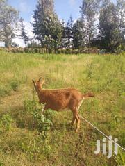 Pregnant Daily Goat With A Twin Prolificacy | Livestock & Poultry for sale in Laikipia, Marmanet
