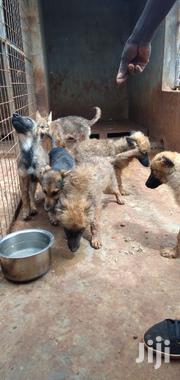 Baby Female Purebred German Shepherd Dog | Dogs & Puppies for sale in Uasin Gishu, Kapsoya