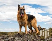 Young Male Purebred German Shepherd Dog | Dogs & Puppies for sale in Makueni, Masongaleni