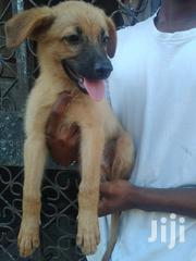 Baby Male Purebred Belgian Malinois | Dogs & Puppies for sale in Mombasa, Bamburi