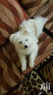 Adult Female Purebred Maltese | Dogs & Puppies for sale in Nakuru, Nakuru East