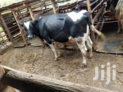 Selling Fresian And Holsten Cows | Livestock & Poultry for sale in Kiambu, Ngewa