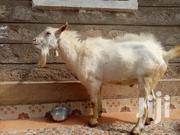Dairy Goat | Other Animals for sale in Nairobi, Embakasi