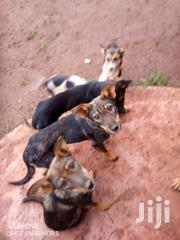 Young Female Mixed Breed German Shepherd Dog | Dogs & Puppies for sale in Kiambu, Kabete