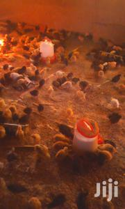Quality & Vaccinated Kuroiler Chicks | Livestock & Poultry for sale in Nairobi, Embakasi
