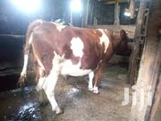 Arysher On Sale. | Livestock & Poultry for sale in Kiambu, Githunguri