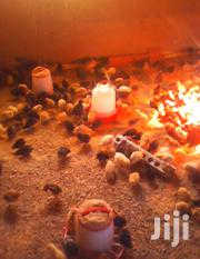 Vaccinated KUROILER Chicks (Day Old To Month Old Available) | Livestock & Poultry for sale in Nairobi, Embakasi