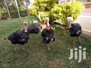 Breeding Turkeys And Chicks At Good Prices | Livestock & Poultry for sale in Nyeri, Kamakwa/Mukaro