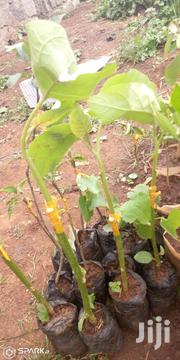 Grafted Tree Tomato | Feeds, Supplements & Seeds for sale in Murang'a, Gaichanjiru