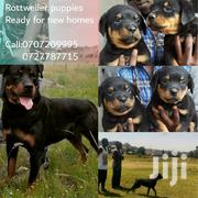 Young Male Purebred Rottweiler | Dogs & Puppies for sale in Nairobi, Njiru