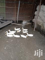 Indian Runner Ducks | Livestock & Poultry for sale in Nairobi, Embakasi