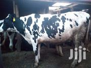 Holstein Breeds. | Other Animals for sale in Kiambu, Githunguri