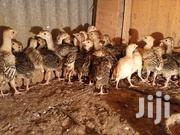 Turkey Chicks (Poults) | Livestock & Poultry for sale in Nairobi, Embakasi