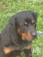 Adult Male Purebred Rottweiler | Dogs & Puppies for sale in Kiambu, Limuru Central