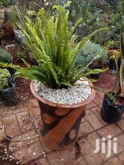 Big Restaurant Potted Sawed Fern | Garden for sale in Nairobi, Kawangware