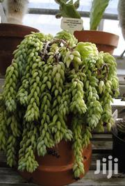 Donkey Tail Plant (Pot Or Basket) | Garden for sale in Nairobi, Kawangware