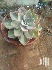 Amazing Diamond Succulent | Garden for sale in Nairobi, Kawangware