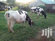 Pedigree Cow | Livestock & Poultry for sale in Kiambu, Limuru Central