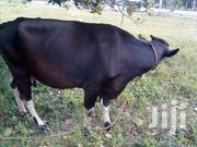 Dairy Cows For Sale | Livestock & Poultry for sale in Kilifi, Mtwapa